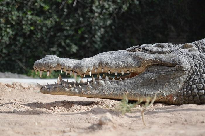 Cá Sấu Trung Mỹ