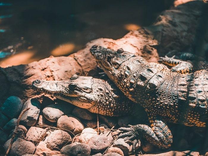 Kích thước Cá Sấu Trung Mỹ