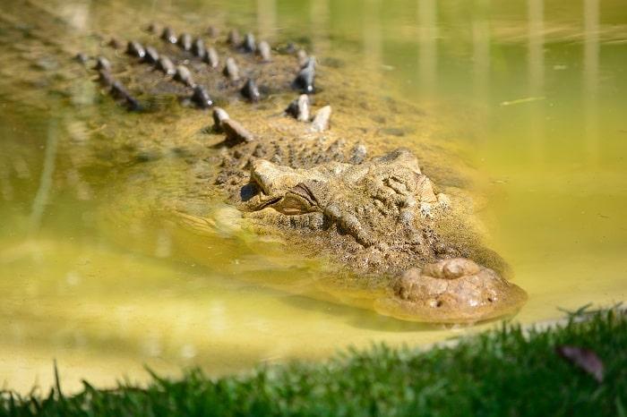 Thức ăn và thói quen ăn uống của cá sấu sông nin