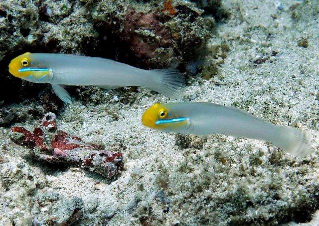 Cá Bống Trắng