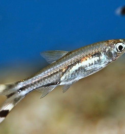cá đuôi kéo