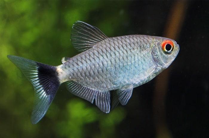 Cá ngân bình Moenkhausia Sanctaefilomenae