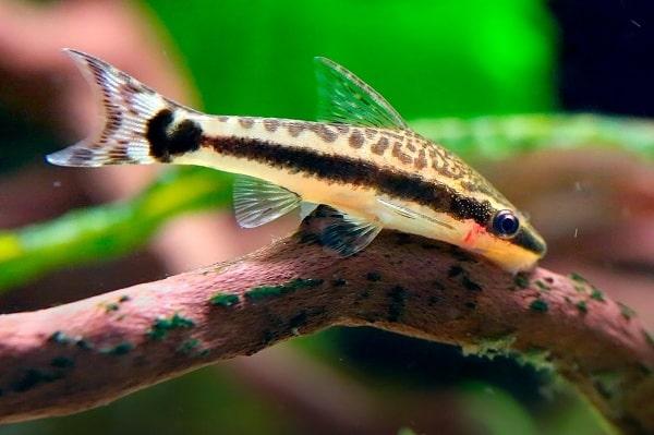 Cá Otto