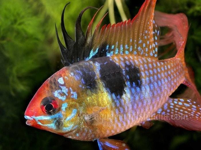 cá phượng hoàng đuôi tím