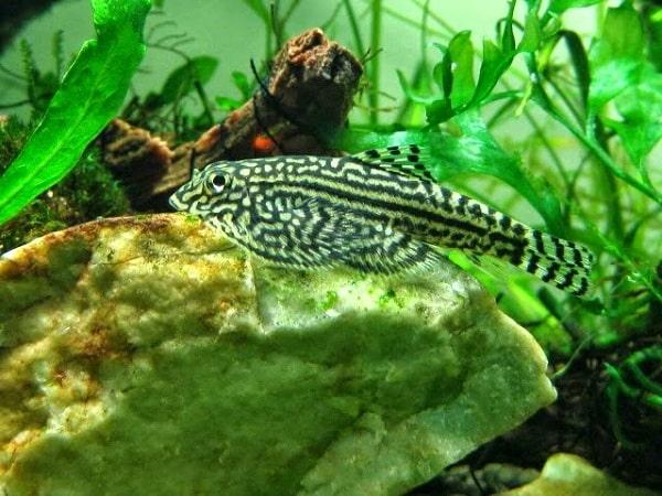 Cá Tỳ Bà Bướm
