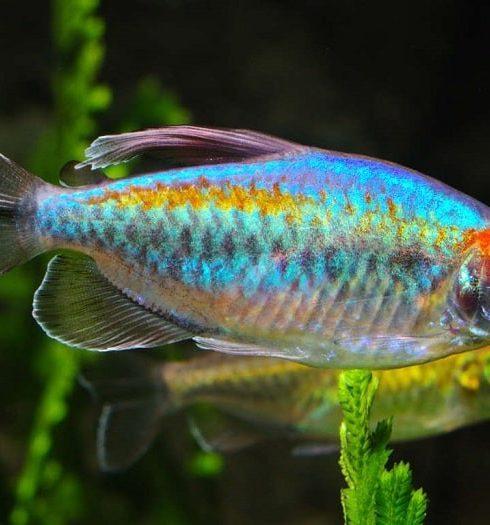 Cá Congo Tetra
