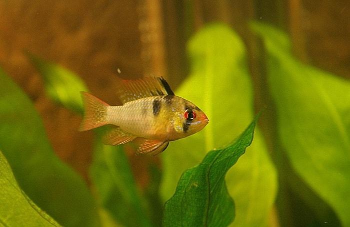 Đặc điểm cơ bản của cá phượng hoàng
