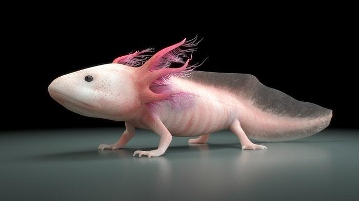 Khả Năng Tái Tạo Không Thể Tin Nổi Của Cá Axolotl