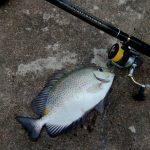 mồi câu cá dìa
