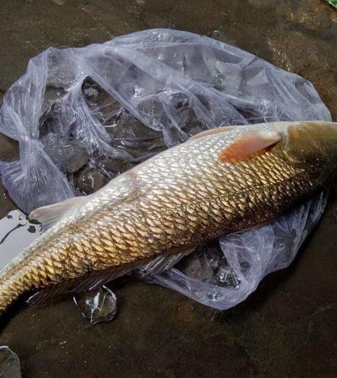 mồi câu cá sủ vàng