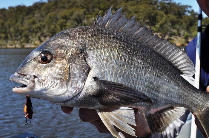 mồi câu cá trap