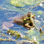 cắm mồi câu ếch