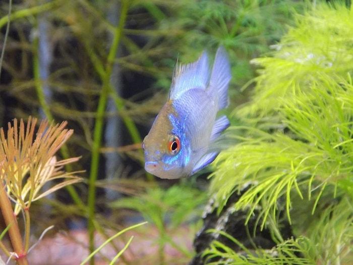 sinh sản cá phượng hoàng