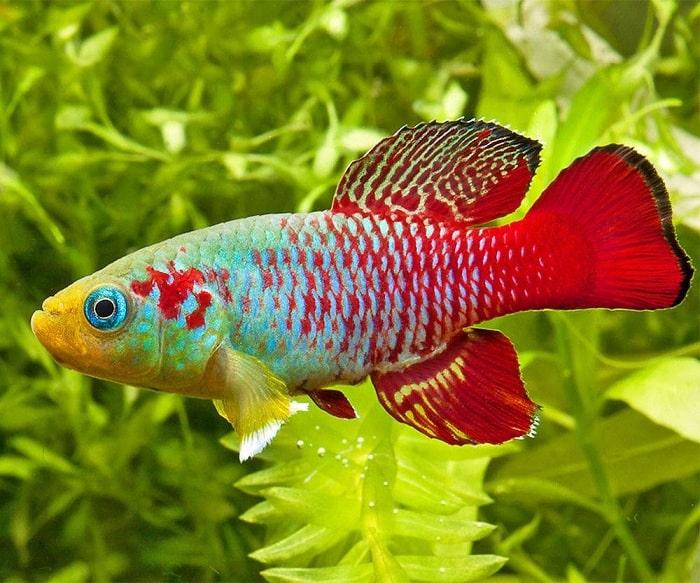 Sự đa dạng di truyền tốc độ tiến hóa Cá Killi