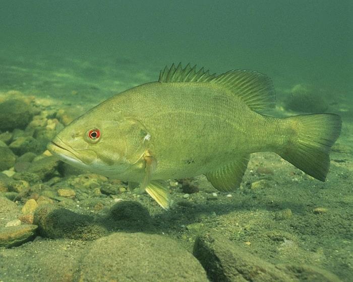 Tập Tính Sinh Sống Của Cá Vược Vào Mùa Xuân