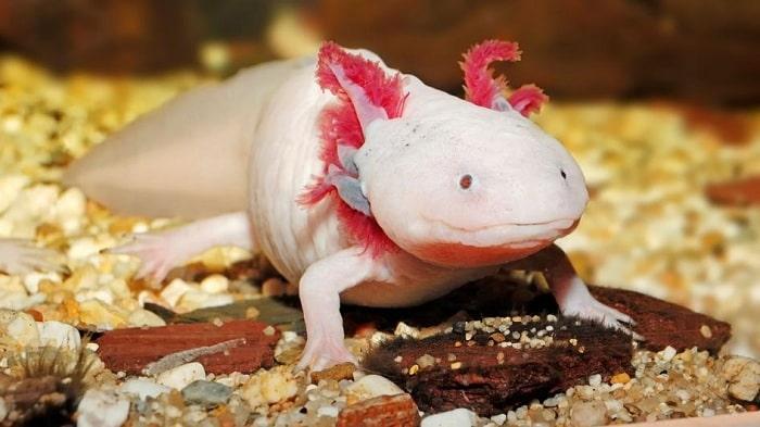 Thức Ăn Và Dinh Dưỡng Cá Axolotl
